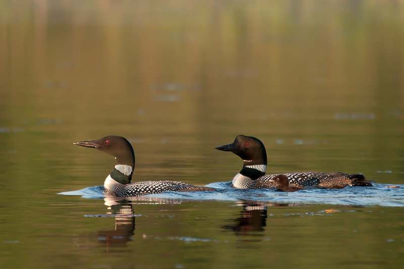 ACL-11036: Loon parents with chick