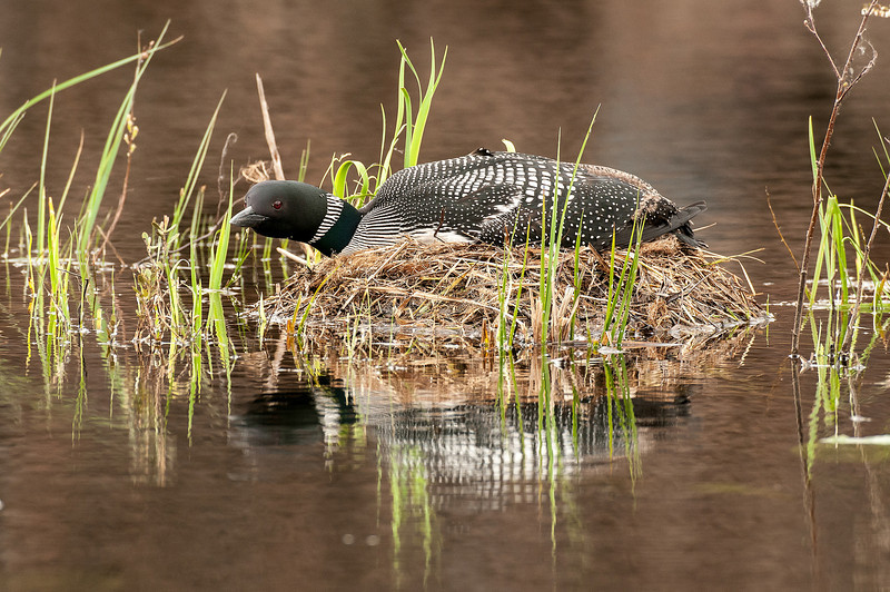 ACL-13-9: Common Loon on nest