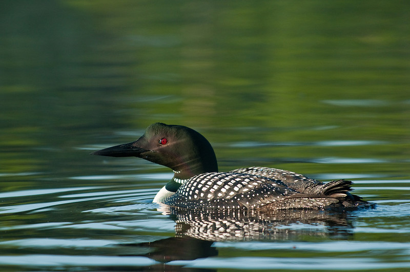 ACL-10022: Common Loon