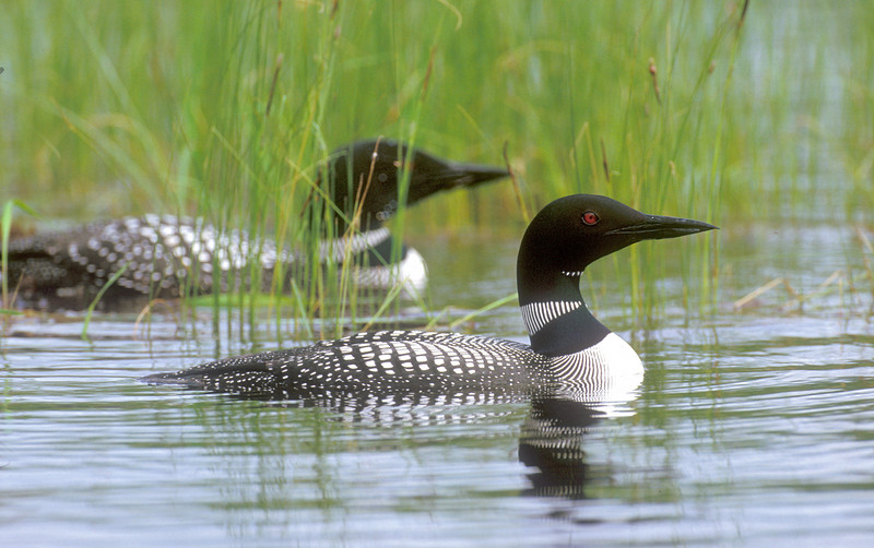 ACL-0098: Loon pair