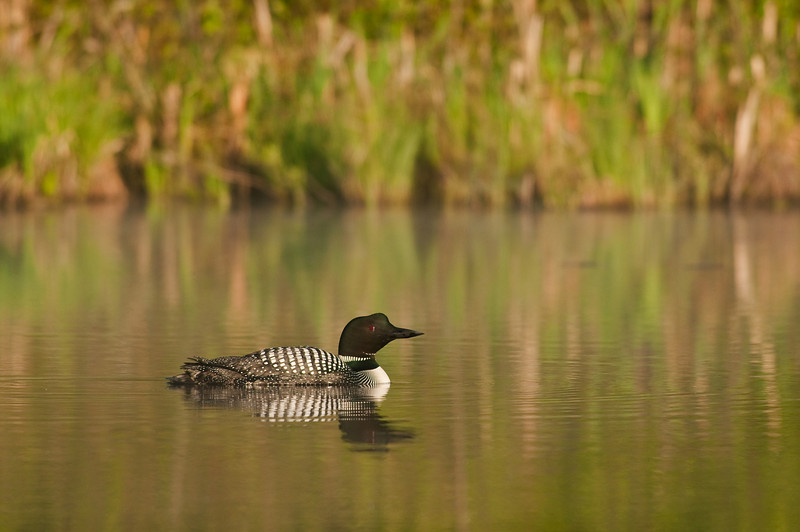 ACL-9208:Common Loon