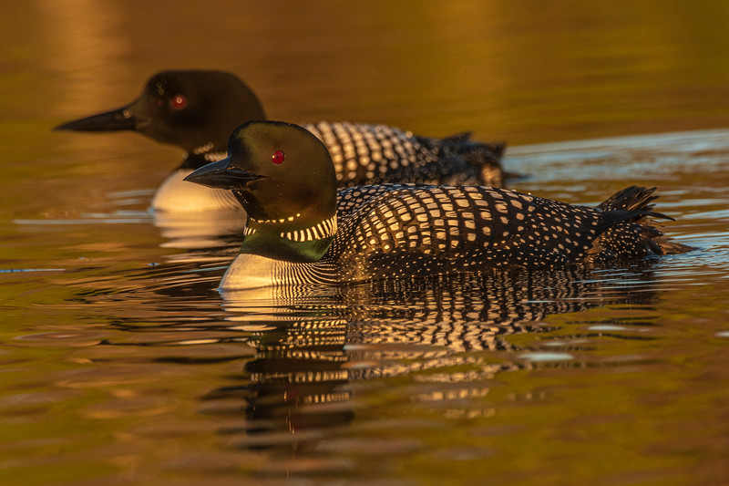 Loons close-up
