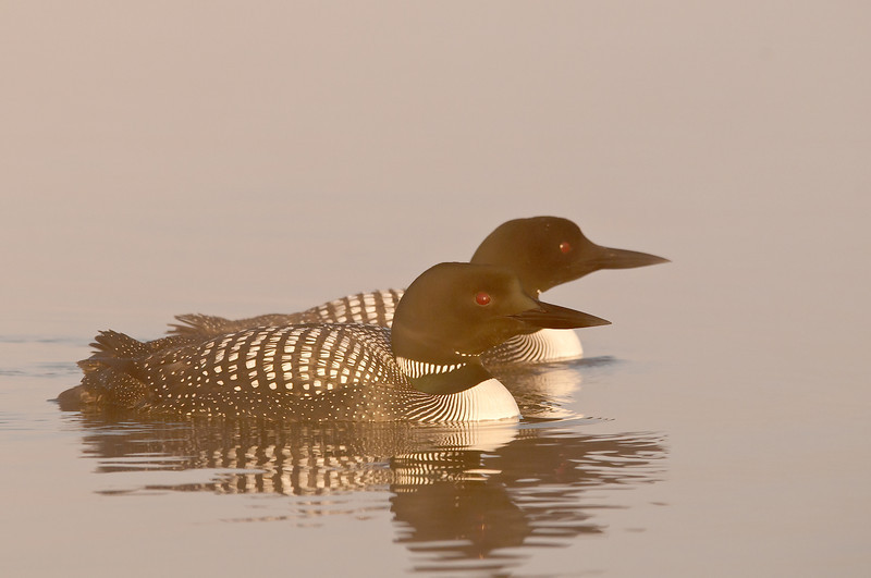 ACL-12093: Common Loons