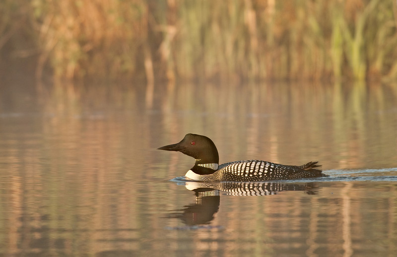ACL-9080: Common Loon