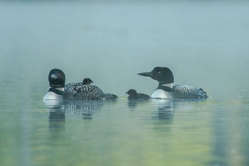 Foggy morning Loon family