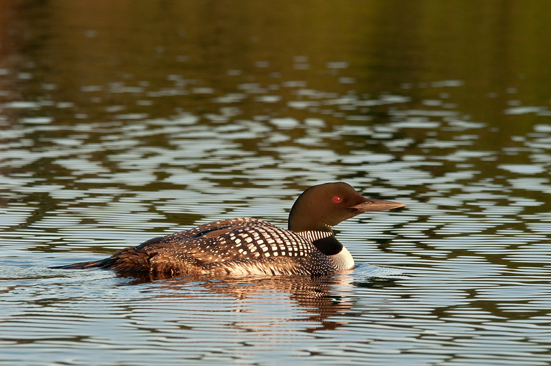 ACL-12120: Common Loon in ripples