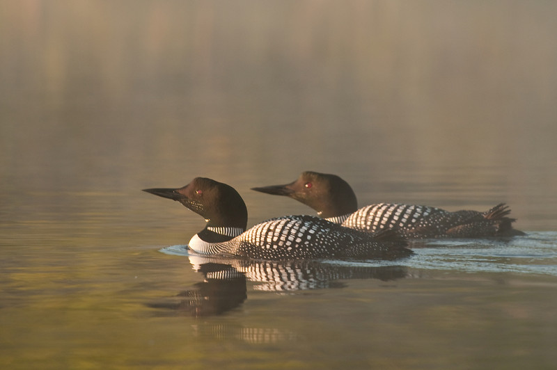 ACL-9089: Loon pair in mist
