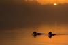 Loon pair at sunrise
