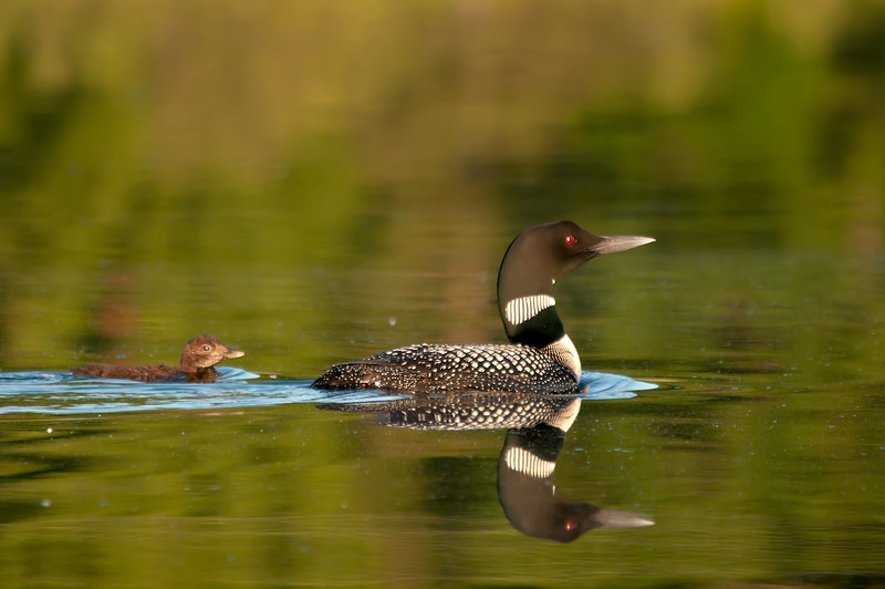 ACL-11104: Loons in reflection