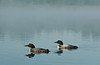 ACL-10010: Loon pair in mist