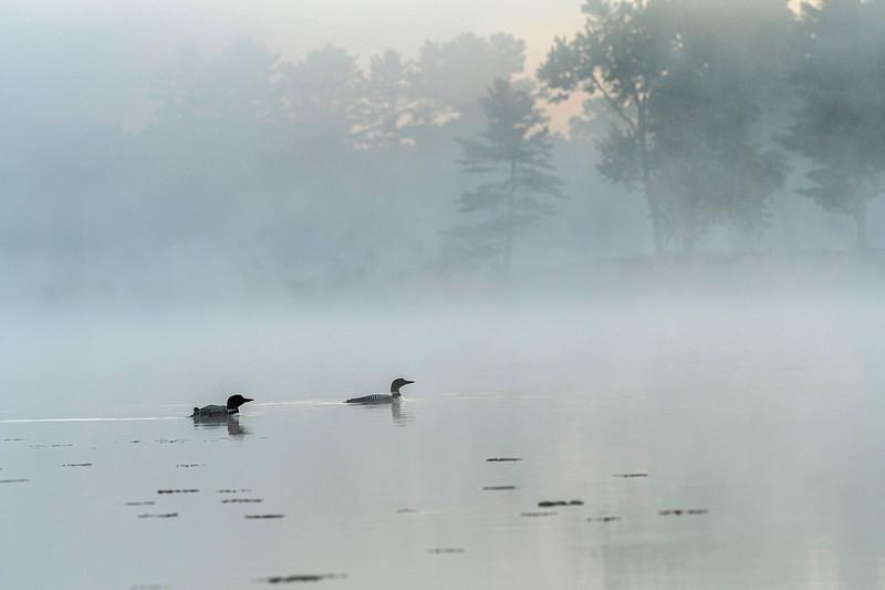 Foggy morning Loons