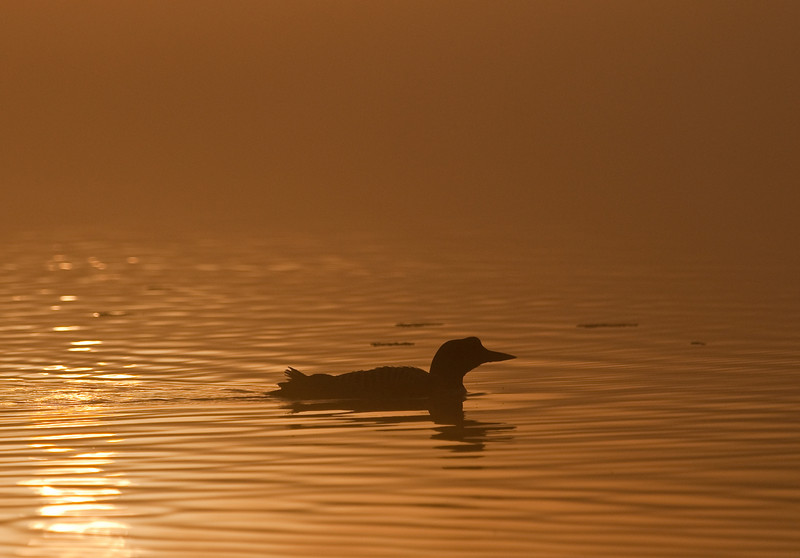 ACL-9024: Loon at misty sunrise