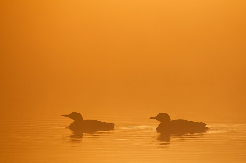 ACL-12055: Loons in orange glow