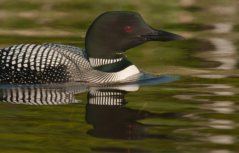 ACL-9267: Portrait of a Common Loon