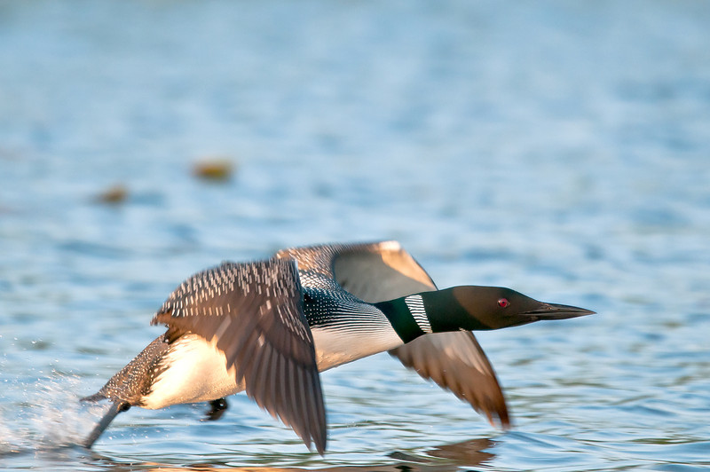 ACL-12025: Loon taking flight