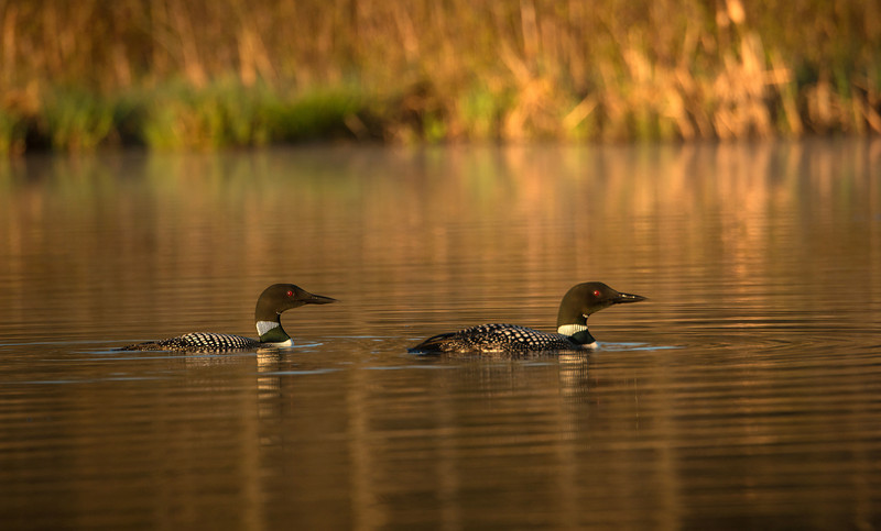 Early morning Loons