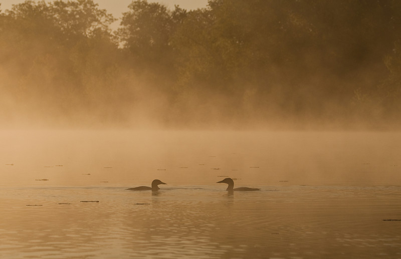 ACL-9162: Loons during a misty morning sunrise