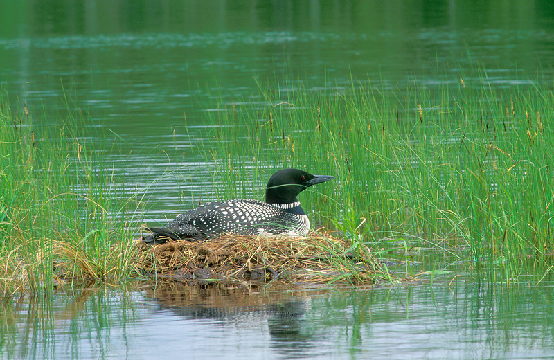 ACL-0119: Nesting Loon <i>- Islands are favorite nesting locations for Loons, harder for predators to get to the eggs!</i>