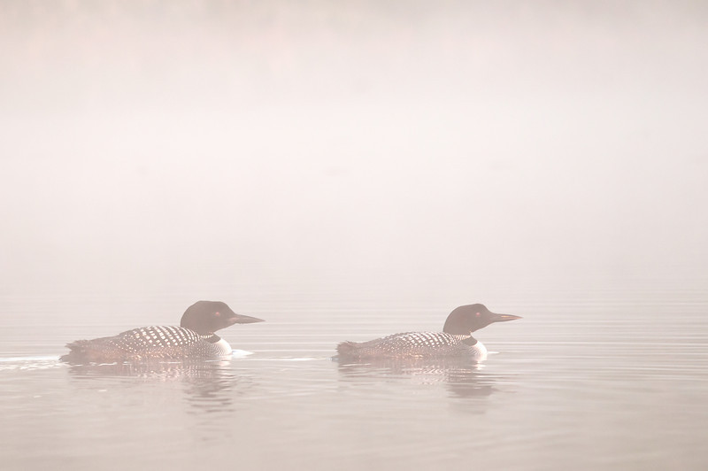 ACL-12045: Loons in morning mist