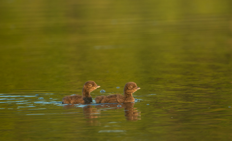 Pair of Loon chicks