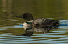Adult Common Loon