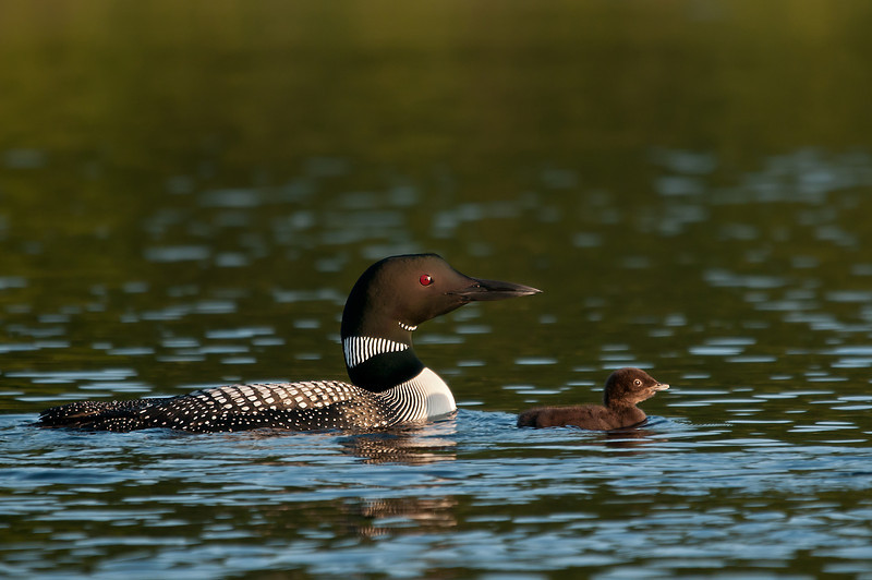 ACL-11045: Loon with chick