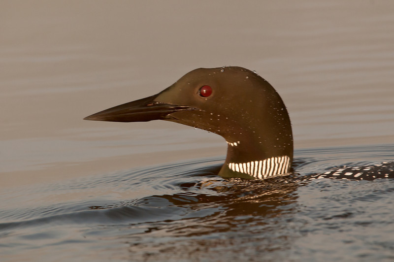 ACL-12101: Loon portrait
