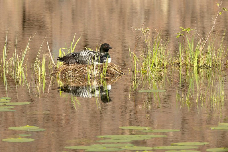 ACL-13-99: Nesting Loon environmental
