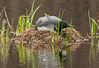 ACL-13-16-2: Nesting Loon