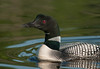 ACL-10049: Loon portrait