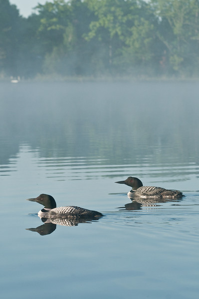 ACL-10012: Loon pair on Northern MN lake