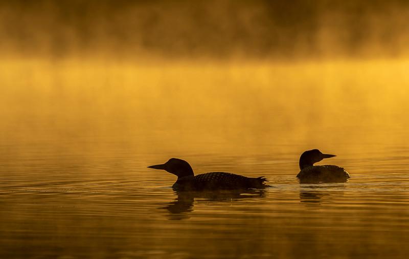 Sunrise Loons