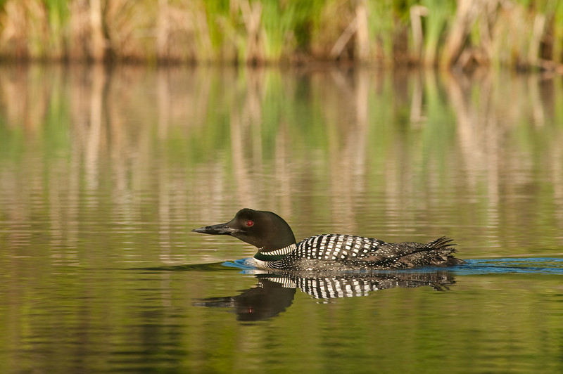 ACL-9224: Loon reflection