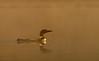 Loon in golden light