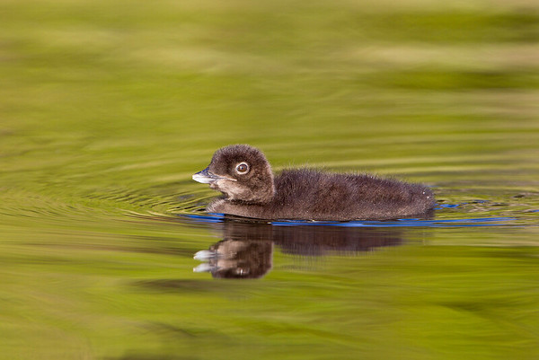 Loon chick probably 2 weeks old