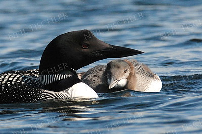#937  Common loon with young chick, resting between meals.