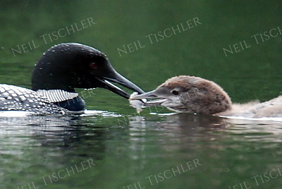 #989  A common loon parent feeds its chick.