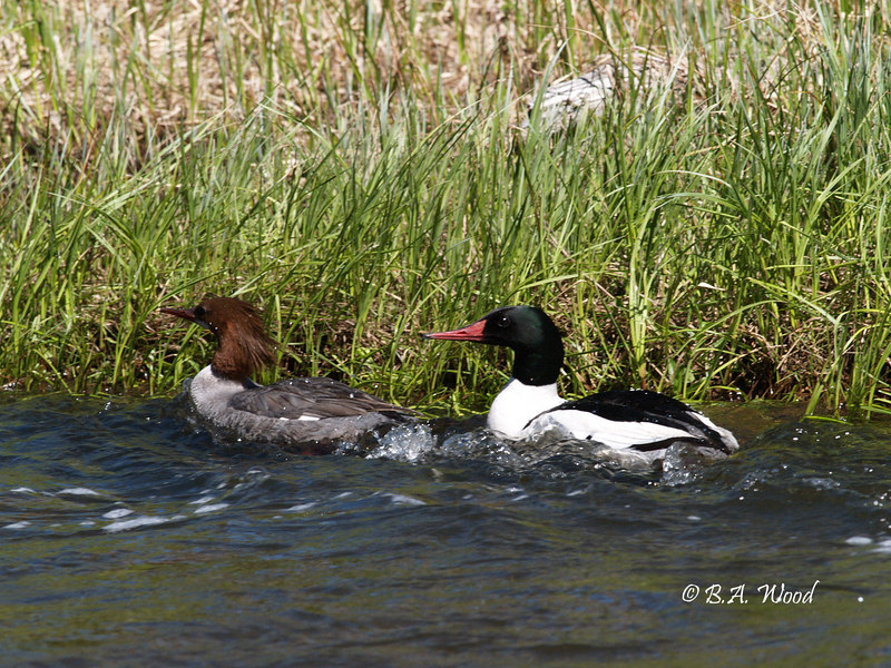 MM 4930<br /> Common Mergansers - Female & Male(Mergus merganser).<br /> <br /> Large, slender diving duck. Long, thin, orange bill. White patches in wing visible in flight. Male with bright white sides and iridescent green head. <br /> <br /> Size: 54-71 cm (21-28 in) <br /> Wingspan: 86 cm (34 in) <br /> Weight: 900-2160 g (31.77-76.25 ounces)