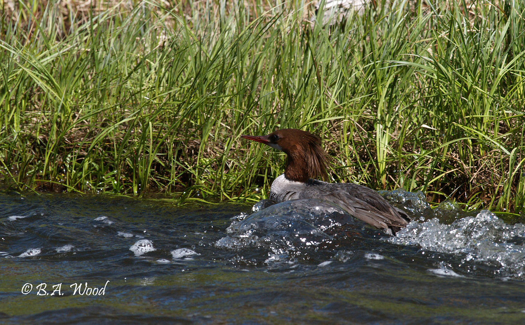 MM 4929<br /> Common Merganser, Female (Mergus merganser).<br /> <br /> The Common Merganser usually nests in tree cavities, either those made by large woodpeckers or from where a limb broke off. It will also use a nest box. Infrequently a Common Merganser might make its nest in a rock crevice, a hole in the ground, a hollow log, in an old building, or in a chimney.