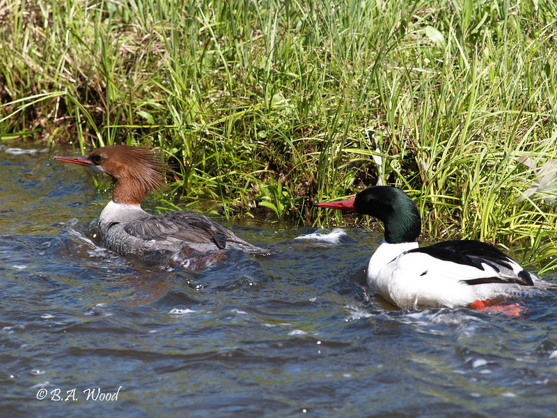 MM 4940<br /> Common Merganser's, Female & Male (Mergus merganser).  The French call them either a Grand Harle or Mergo mayor. <br /> <br /> Young Common Mergansers leave their nest hole within a day or so of hatching. The mother protects the chicks, but she does not feed them. They dive to catch all of their own food. They eat mostly aquatic insects at first, but switch over to fish when they are about 12 days old.