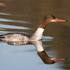 Common Merganser