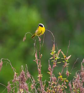 Common Yellowthroat (Geothlypis trichas)