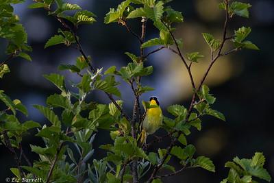 0U2A8144_Common yellow-throat