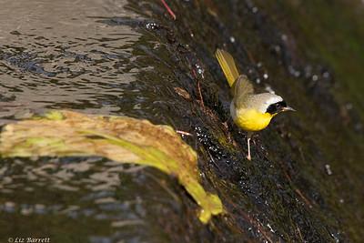 0U2A6536_Common Yellowthroat