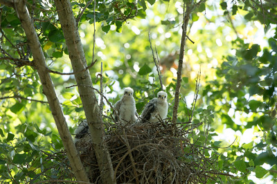 Cooper's Hawk nest, 31-May-2013
