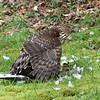 Cooper's Hawk with Band-tailed Pigeon<br /> 05 APR 2012