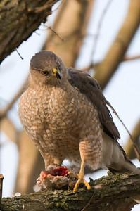 female eating a bird.