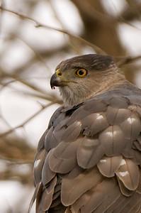 Female feasting on a bird.