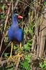 Purple Gallinule (b0686)