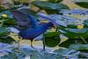 Purple Gallinule (b0683)